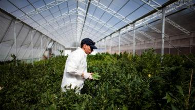 dati positivi sulla legalizzazione della cannabis