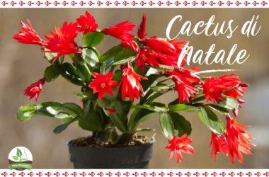 pianta grassa che fiorisce proprio nei giorni delle festività invernali