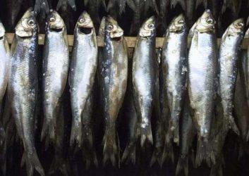 Le sardine fasciste