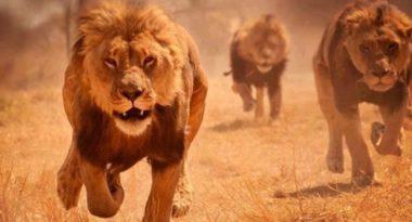 Bracconieri uccisi da leoni in una riserva africana